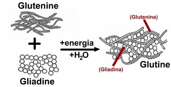 glutine1